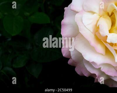Vista dall'alto della rosa su sfondo scuro. Biglietto di auguri.