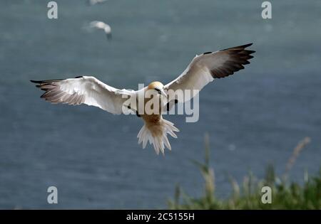 Le gannette settentrionali si innalzano sopra le scogliere di Bempton nello Yorkshire Foto Stock