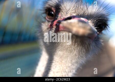 Ritratto frontale della testa e del collo dell'uccello struzzo in azienda. Uccello giovane, sfondo
