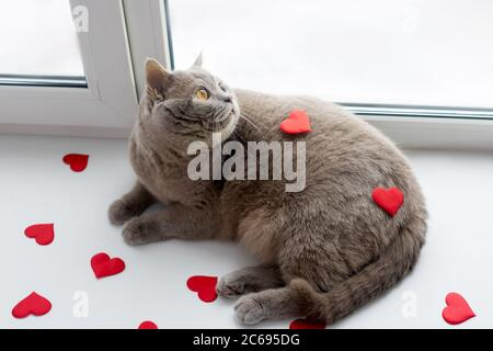 Il gatto lilla britannico con cuori rossi su sfondo chiaro. Home in soglia finestra. Concetto di giorno di San Valentino.