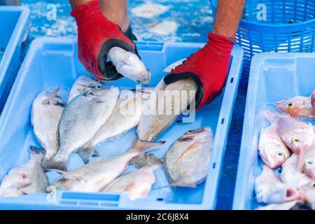Primo piano di mani maschili utilizzando guanti da lavoro per organizzare il pesce in una scatola del mercato del pesce. Concetto di pesca e occupazione.