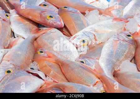 Primo piano di orata di mare rossa appena pescata con pezzi di ghiaccio. Concetto di pesca e di cibo sano.