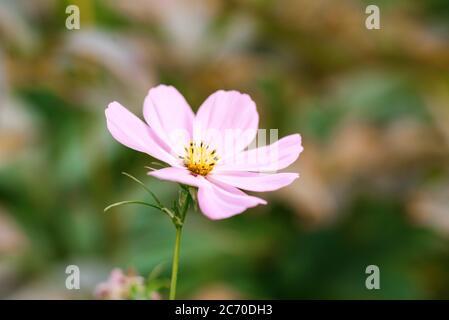 Fiore rosa cosmeta primo piano nel giardino estivo