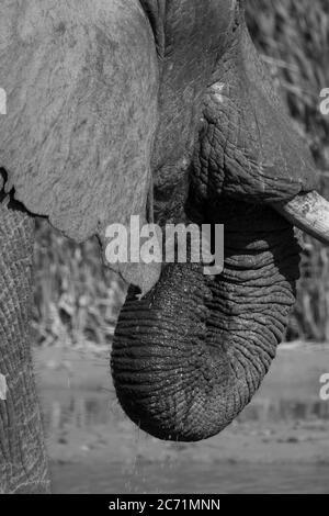 Elephant di bere Foto Stock