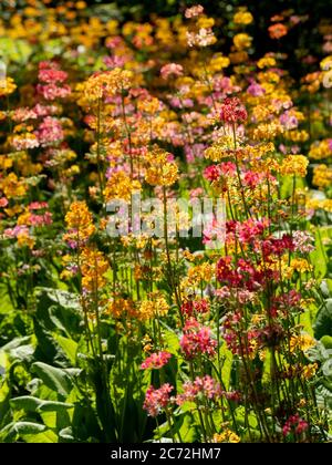 Candelabra Primula retroilluminata che cresce in un giardino.