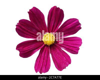Vivace fiore rosa cosmo isolato su uno sfondo bianco.