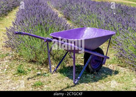 Una carriola completamente viola con un campo di lavanda nella campagna di Santa luce, Pisa, Italia