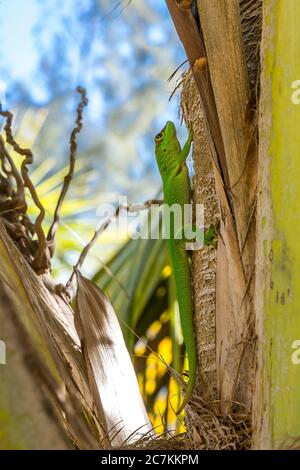 Gecko giorno Madagascar (Phelsuma madagascariensis), Spiaggia Sakalava, Parco Nazionale di Oronjia, Antsiranana, Diego Suarez, comune di Ramena, Madagascar, Africa, Oceano Indiano
