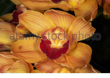 Cymbidium Half Moon orchidea 'Banana Boat' Foto Stock