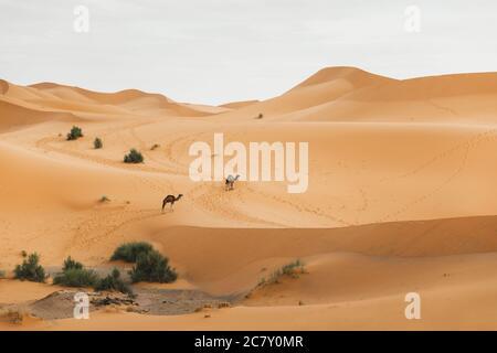 Due cammelli che camminano nel deserto del Sahara, Marocco. Dune di sabbia sullo sfondo. Animali africani.
