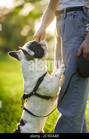 Vista laterale di una donna irriconoscibile che addestra il bulldog francese al guinzaglio. Primo piano di animali domestici odoranti tratta da parte del proprietario di cane femmina, in piedi sui piedi hind nel parco, giorno d'estate. Concetto di addestramento degli animali. Foto Stock