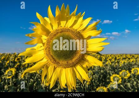 Girasoli giallo brillante in piena fioritura in giardino per l'olio migliora la salute della pelle e promuovere la rigenerazione cellulare Foto Stock