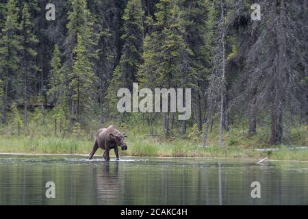 Un giovane maschio alci alci che si tuffa nel lago Horseshoe, Denali National Park, Alaska, Stati Uniti