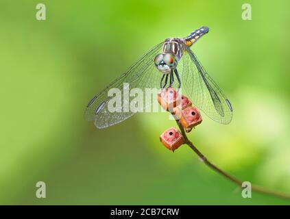 Un'immagine messa a fuoco impilata di un giovane skimmer Swift Wing Dragonfly su sfondo verde