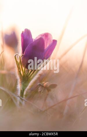 Un fiore pasque (Pulsatilla vulgaris) Crescere al tramonto in Hertfordshire