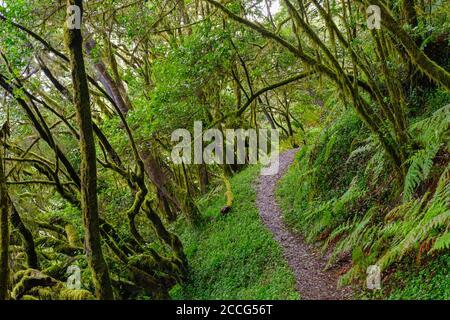 Percorso forestale nella foresta pluviale a El Cedro, Garajonay National Park, la Gomera, Isole Canarie, Spagna