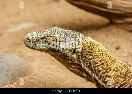 Komodo dragon (Komodo monitor), Varanus komodoensis, la più grande specie di lucertola esistente. Indonesia.