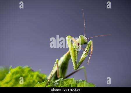Europeo in preghiera Mantis femmina o Mantis religiosa primo piano su sfondo scuro. Grande insetto predatorio