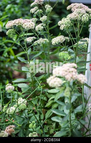 Rubarb stufato di succulenti di sedone di montagna in piena fioritura in estate. Foto Stock