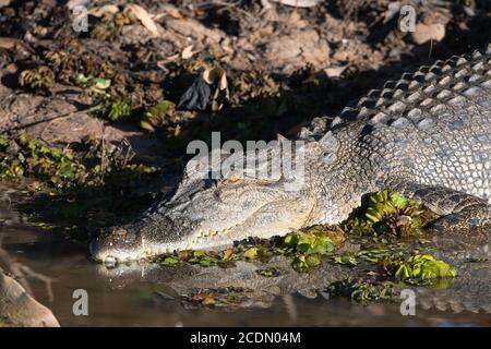 Colpo di testa di un coccodrillo d'acqua salata (Crocodylus porosus) che si tramontano sulla riva del fiume, Yellow Water Billabong, Kakadu National Park, Northern Territ Foto Stock