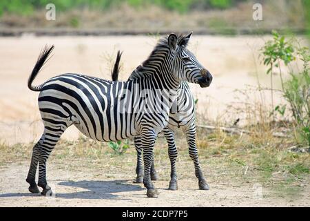 Due Chapman Zebras (Equus quagga Chapmani) stanno guardando allerta sulle pianure nel South Luangwa National Park, Zambia