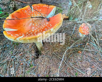 Bel fungo rosso velenoso con berretto gigante visto dal livello dell'erba.