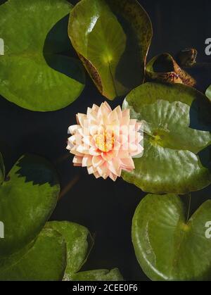 Vista verticale ad alto angolo su un giglio d'acqua color rosa crema in fiore sullo stagno. Sfondo verticale con fiori di loto in fiore sulla superficie del lago,