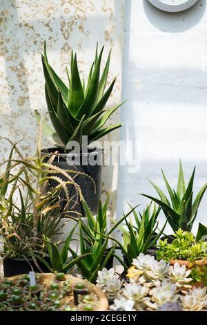 Serra rustica con soffitto in vetro pieno di pentole con cactus, succulenti, fiori e altre piante in estate con sole splendente Foto Stock