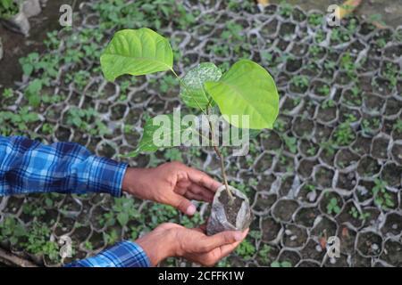 Primo piano le mani di un parson che tiene la piantagione, concetto di mondo verde Foto Stock