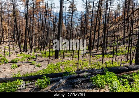 Rigenerazione di alberi e piante bruciate in un incendio boschivo; Montagne Rocciose, Colorado centrale, Stati Uniti