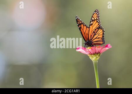 Maschio Monarch Butterfly su pink zinnia fiore sfondo verde chiaro spazio per la copia sul lato destro