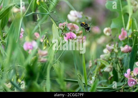 Piselli dolci bianchi e rosa con fiori teneri bumblebee macro blossom su sfondo verde sfocato