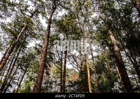 Alto gruppo di alberi di pino sfondo Foto Stock