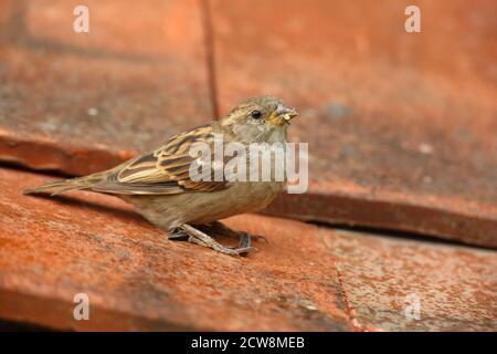 Female House Sparrow (Passer domesticus) su tegole di tetto in argilla. Preso agosto 2020.