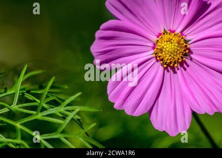 Ritratto di bellissimi fiori rosa-viola con intensi piselli gialli brillanti mostra la bellezza della primavera e i fiori filigranati in colpo pieno Foto Stock