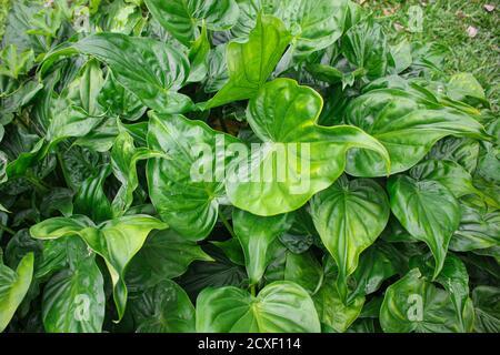 Foglie verdi tropicali, foglie tessitura asia natura immagine