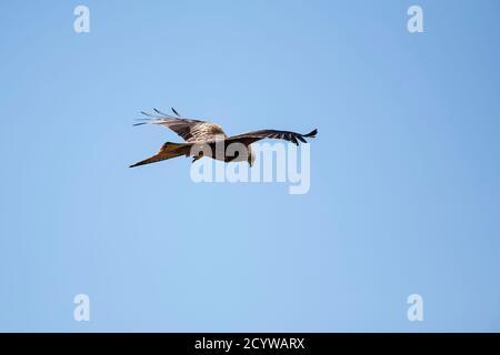 Un singolo Red Kite Milvus milvus che vola in volo contro un cielo azzurro limpido alla stazione di alimentazione dell'azienda agricola Gitrin, Powys, Galles Foto Stock