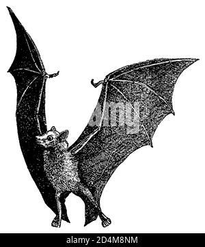 Antica illustrazione del XIX secolo di una volpe volante (isolata su bianco). Pubblicato in Systematischer Bilder-Atlas zum Conversations-Lexikon, Ikonographi