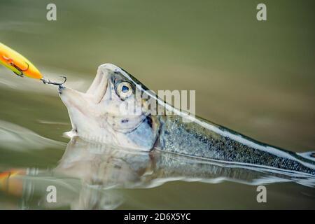 Pesci che catturano ganci. Tenendo la trota marrone. Pesca - rilassante e godendo hobby. Pescatore e trota.