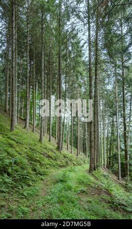 Paesaggio con pista verde sul pendio tra alberi alti in boschi, girato in luce estiva vicino Ibach, Foresta Nera, Baden Wuttenberg, Germania Foto Stock