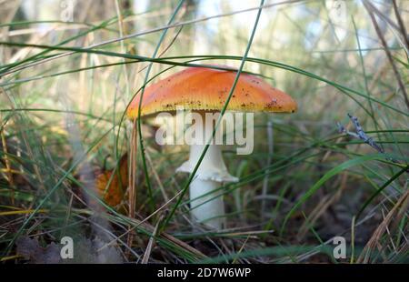 Una mosca agarica di colore arancione nella foresta senza punti bianchi. Fungo tossico. Toadsgool nel bosco circondato da erba.