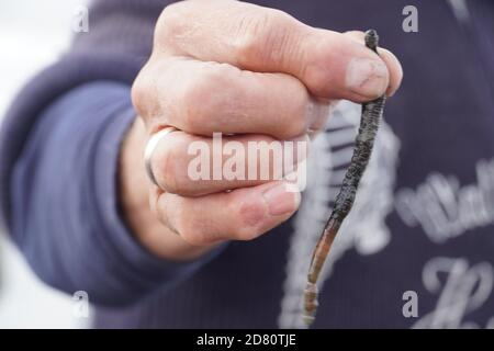 Lugworm nelle distese di fango. Foto di alta qualità