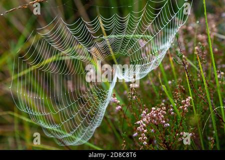 Una rete di ragni negli altopiani della Scozia.