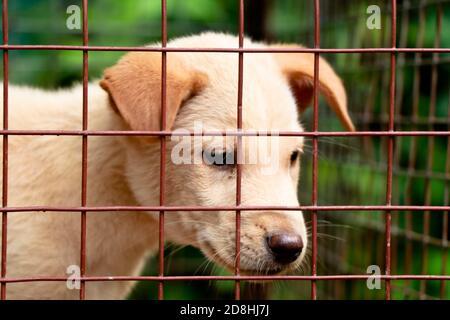 Color crema cucciolo carino nella gabbia, razza trasversale