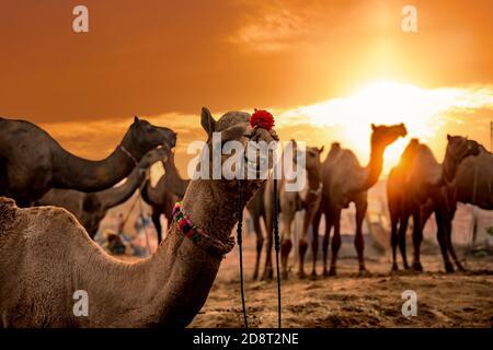 Cammelli presso la Fiera di Pushkar, chiamato anche il cammello di Pushkar Fiera o localmente come Kartik Mela è un annuale multi-giorno fiera del bestiame e culturali tenutosi a th