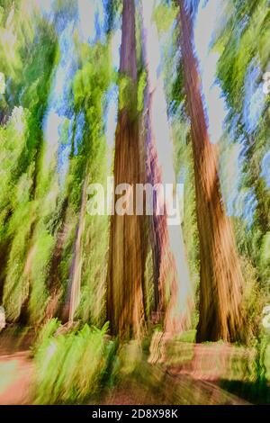 Sfumature di verde, marrone e blu catturate dalla panning verticale di alti alberi di sequoie della California con felci sul pavimento della foresta. L'immagine è astratta ma l Foto Stock