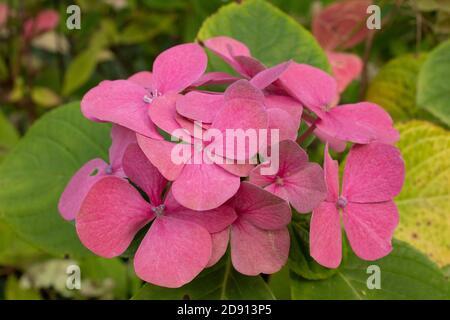 Mazzo di fiori rosa ha preso in Gourock Foto Stock