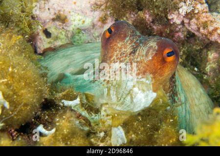 Polpo comune, Octopus vulgaris, Cabo Cope-Puntas del Calnegre Parco Naturale, Mar Mediterraneo, Regione di Murcia, Murcia, Spagna, Europa. Foto Stock