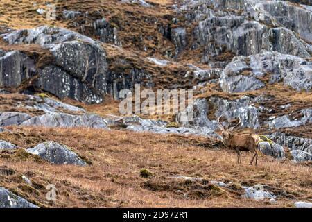 Cervi rossi scozzesi (Cervus elaphus) stag in piedi tra l'erba, Scozia