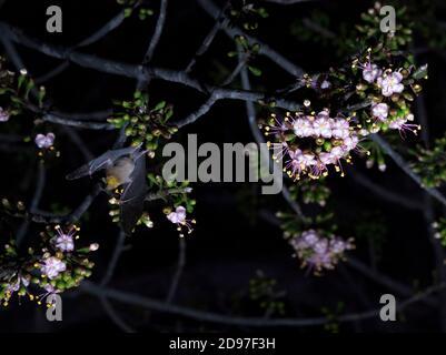 Il pipistrello maguey minore (Leptonycteris yerbabuenae) che si nuce al fiore di Ceiba Pentandra fotografato all'interno del Parco Nazionale Cañon del Sumidero, Chiapas, Mex Foto Stock